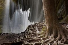 Tree with exposed roots by waterfall Stock Photos