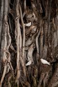 White birds in tree roots - stock photo