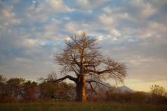 Baobab tree, Tanzania, Africa Stock Photos