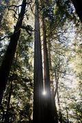 Redwood trees, California, USA Stock Photos