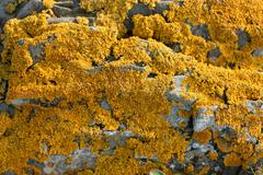 Yellow lichen on stone Stock Photos