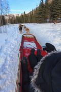 Dog sledder taking picture in snow Stock Photos