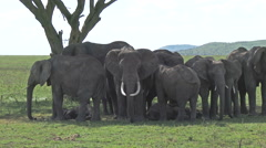 African elephants under an Acacia tree Stock Footage