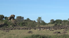 Wildebeest and Zebra migration Stock Footage