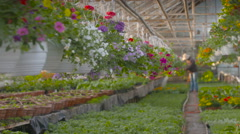 Farmer Spraying Water On Plants In Greenhouse Stock Footage