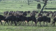 Wildebeest migration Stock Footage