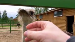 Funny ostrich eats a man's hand Stock Footage