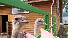 funny ostrich eats a man's hand - stock footage