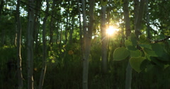 Forest Aspen tree leaves sunset glow DCI 4K Stock Footage