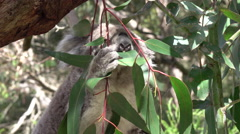 CLOSE UP: Adorable fuzzy koala eating juicy eucalyptus leaf - stock footage