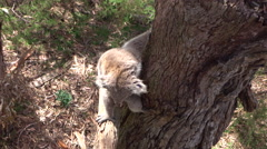 CLOSE UP: Adorable fluffy sleepy koala descending from an eucalyptus tree - stock footage