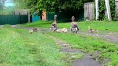 Geese and goslings in the village - stock footage
