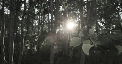 Mountain Aspen forest leaves sunset flare desaturated DCI 4K Stock Footage