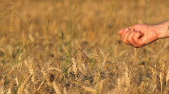Wheat seed pouring from farmer hand, cereals field, good harvest Stock Footage