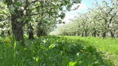 Blossom spring orchard, looking up to sky, sun rays shinning throw tree branches Stock Footage