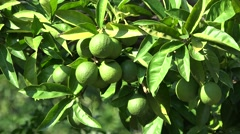 Green lemon fruits in the citrus tree Stock Footage