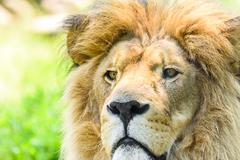 Wild Lion King Feline In Safari Portrait - stock photo