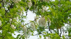 Beautiful White Acacia Tree In Blossom - stock footage