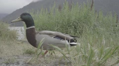 Duck by Lake with Flat Color Stock Footage