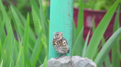 Nestling thrush Fieldfare sitting on a stone Stock Footage
