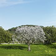 Almond tree, Mallorca, Spain - stock photo
