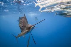 Sailfish (Istiophorus albicans) feeding on sardine baitball north of Isla Stock Photos
