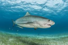 Tiger shark (Galeocerdo cuvier) swimming in the reefs north of the Bahamas in Kuvituskuvat