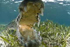 Close up of open mouthed american crocodile, Chinchorro biosphere reserve, - stock photo