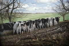 Rear view of cows feeding from trough in dairy farm field - stock photo