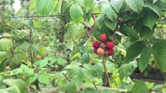 Organic raspberries swinging lightly in the wind - stock footage