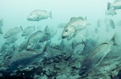Cubera snappers gather at fresh water spout in lagoon at Sian Ka'an natural Stock Photos