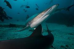 A silky shark avoiding another shark during a deep dive, in Socorro Island, - stock photo