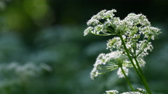 Cow Parsley, Anthriscus sylvestris during evening in Sweden Stock Footage