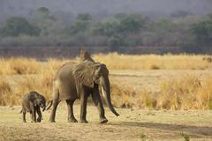 African elephant calf with parent  (Loxodonta africana), Mana Pools National - stock photo