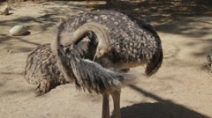 Ostrich cleaning feathers on wing Stock Footage