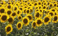 Field of sunflowers, Pienza, Val D'Orcia, Tuscany, Italy Stock Photos