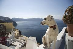 Dog looking over its shoulder at sea view, Oia, Santorini, Cyclades, Greece - stock photo