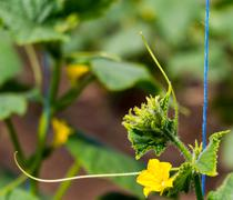 Blossom of Boston pickling cucumber growing on vine - stock photo