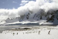 Colony of Gentoo penguins (Pygoscelis papua) on Cuverville Island, Antarctica Stock Photos