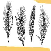 Wheat ears. Black and white color. Bakery sketch - stock illustration
