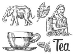 Tea picker woman, tea leaves, cup, elephant. Vector engraved vintage isolated Piirros