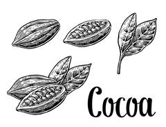Leaves and fruits of cocoa beans. Vector vintage engraved illustration Stock Illustration