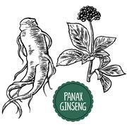 Root and leaves panax ginseng. Vector black and white engraving vintage illus - stock illustration