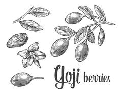 Goji berries on a branch. Vector black and white vintage engraving illustrati Stock Illustration