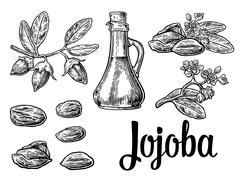 Jojoba fruit with glass jar. Hand drawn vector vintage engraved illustration. - stock illustration