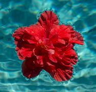 Red hibiscus flower floating in swimming pool - stock photo