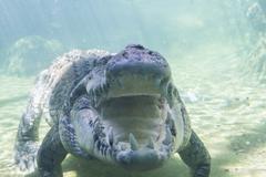 Saltwater crocodile under water Stock Photos