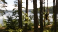 The spider weaves a web. Forest. Mountain Lake - stock footage