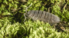 Close-up of a common rough woodlouse (Porcellio scaber) Stock Footage