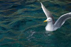 Portrait of seagull floating on sea with wings spread Stock Photos